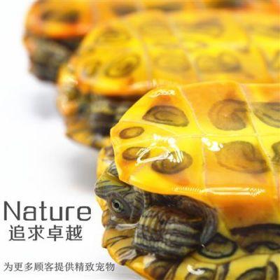 巴西龟招财乌龟活体宠物龟水龟镇宅风水龟包风险包邮